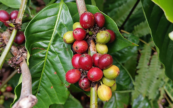 coffea diversa tour biolley 02
